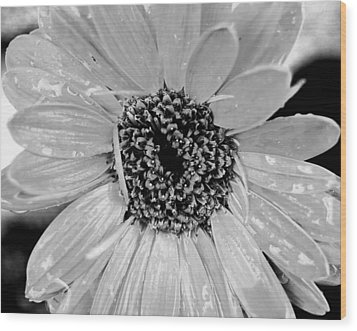 Black And White Gerbera Daisy Wood Print by Amy Fose