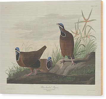 Blue-headed Pigeon Wood Print by John James Audubon
