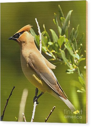 Cedar Waxwing Closeup Wood Print by Adam Jewell