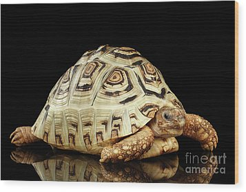 Closeup Leopard Tortoise Albino,stigmochelys Pardalis Turtle With White Shell On Isolated Black Back Wood Print by Sergey Taran