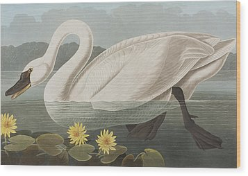 Common American Swan Wood Print by John James Audubon