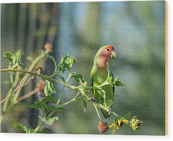 Lovely Little Lovebird  Wood Print by Saija Lehtonen