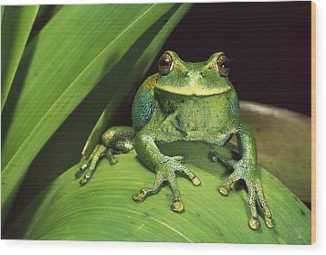 Marsupial Frog Gastrotheca Orophylax Wood Print by Pete Oxford