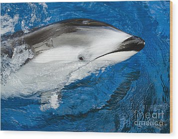 Pacific White-sided Dolphin Wood Print by Dave Fleetham - Printscapes