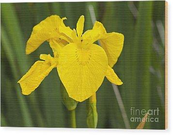 Plant Wild Flower Yellow Flag  Iris Pseudacorus Wood Print by Hugh McKean