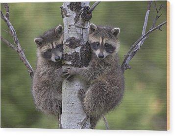 Raccoon Two Babies Climbing Tree North Wood Print by Tim Fitzharris
