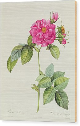 Rosa Turbinata Wood Print by Pierre Joseph Redoute