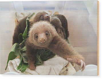 Hoffmanns Two-toed Sloth Choloepus Wood Print by Suzi Eszterhas