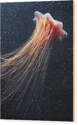 Lion's Mane Jellyfish Wood Print by Alexander Semenov