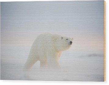 Polar Bear  Ursus Maritimus , Young Wood Print by Steven Kazlowski