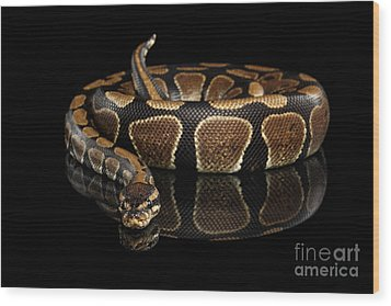 Ball Or Royal Python Snake On Isolated Black Background Wood Print by Sergey Taran