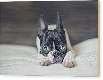 Boston Terrier Puppy Wood Print by Nailia Schwarz