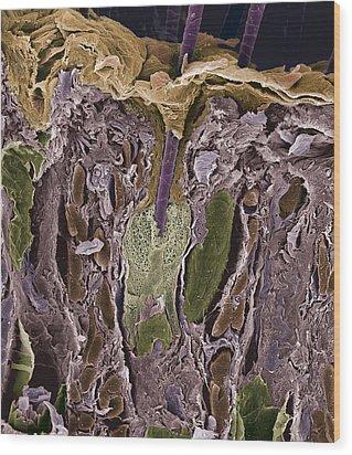 Hair Follicle, Sem Wood Print by Steve Gschmeissner