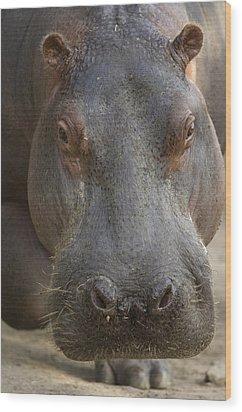 A Hippopotamus At The Sedgwick County Wood Print by Joel Sartore