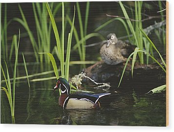 A Male Wood Duck Swims Past Its Mate Wood Print by Raymond Gehman