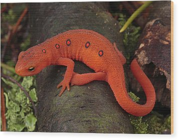 A Red Eft Crawls On The Forest Floor Wood Print by George Grall