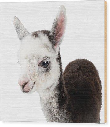 Adorable Baby Alpaca Cuteness Wood Print by TC Morgan