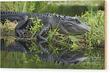 American Alligator In The Wild Wood Print by Dustin K Ryan
