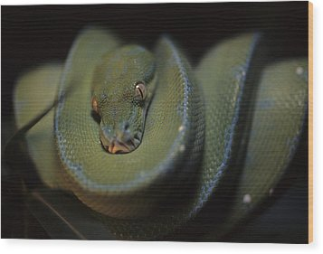 An Immature Green Tree Python Curled Wood Print by Taylor S. Kennedy