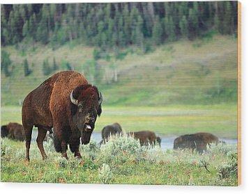 Angry Buffalo Wood Print by Todd Klassy