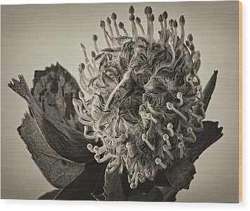Australian Pincushion 2 Wood Print by Robert Ullmann