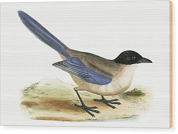 Azure Winged Magpie Wood Print by English School