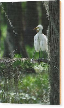 Baby Great Egrets With Nest Wood Print by Rich Leighton