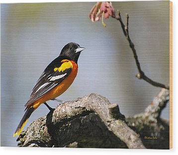 Baltimore Oriole Wood Print by Christina Rollo