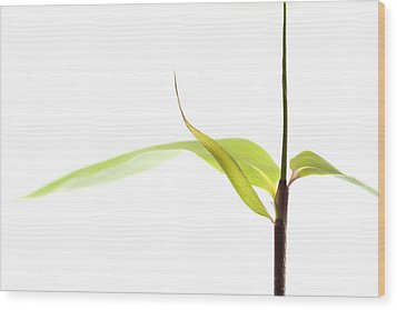 Bamboo Meditation 1 Wood Print by Carol Leigh