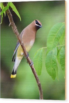 Beautiful Cedar Wax Wing  Wood Print by Sheri McLeroy