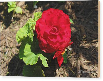 Begonia Flower - Red Wood Print by Corey Ford