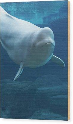 Beluga Whale (delphinapterus Leucas) In Aquarium, Captive Wood Print by Noel Hendrickson