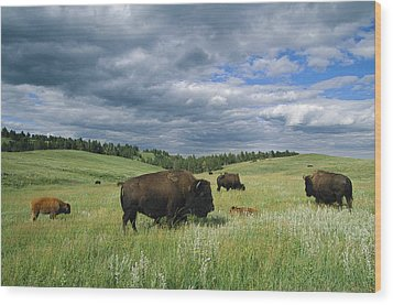 Bison And Their Calves Graze In Custer Wood Print by Annie Griffiths