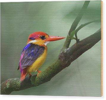 Black-backed Kingfisher Wood Print by Copyright by David Yeo