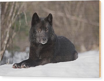 Black Wolf Wood Print by John Hyde - Printscapes