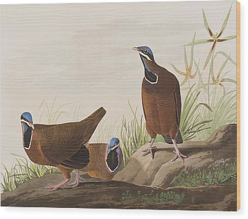 Blue Headed Pigeon Wood Print by John James Audubon