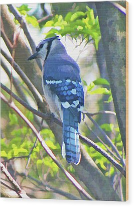 Blue Jay Wood Print by Daphne Sampson