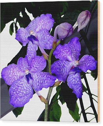 Blue Violet Orchids Wood Print by Mindy Newman