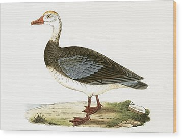 Blue Winged Goose Wood Print by English School