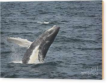 Breaching Humpback Whale Wood Print by Jim  Calarese