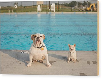Bulldog And Chihuahua By The Pool Wood Print by Gillham Studios