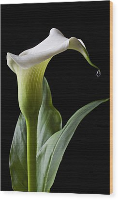 Calla Lily With Drip Wood Print by Garry Gay