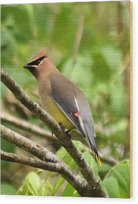 Cedar Wax Wing 1 Wood Print by Sheri McLeroy