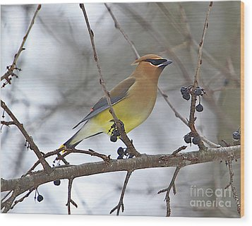 Cedar Wax Wing-2 Wood Print by Robert Pearson