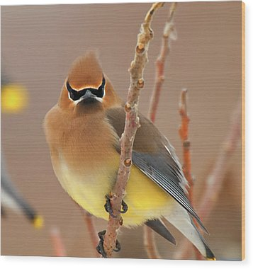 Cedar Wax Wing Wood Print by Carl Shaw