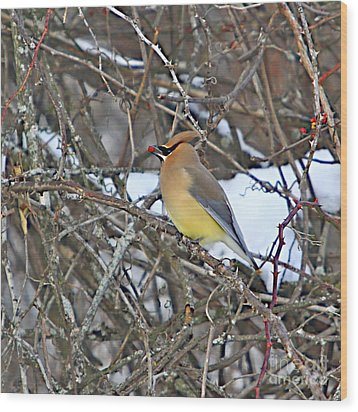 Cedar Wax Wing Wood Print by Robert Pearson