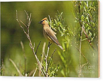Cedar Waxwing At Glacier Wood Print by Adam Jewell