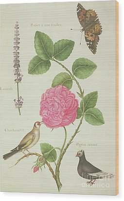 Centifolia Rose, Lavender, Tortoiseshell Butterfly, Goldfinch And Crested Pigeon Wood Print by Nicolas Robert