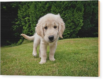 Cheeky Pup Wood Print by Richard Downs