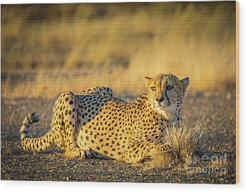 Cheetah Portrait Wood Print by Inge Johnsson